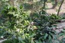 কলারোয়ার কেঁড়াগাছিতে শত্রুতা করে ফলবান গাছ কর্তন, থানায় অভিযোগ